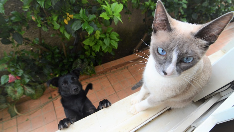 A siamese cat is sitting on the windowsill, and a black dog is trying to catch it.