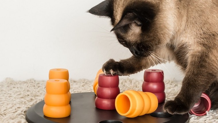 Clever siamese cat solving pet puzzle to get to the treats - square.
