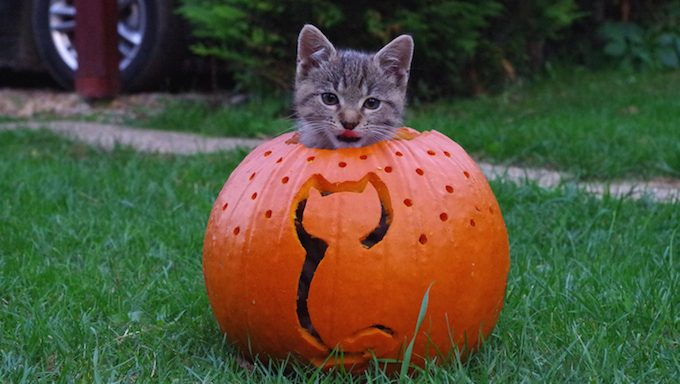 cat in cat-themed jack-o-lantern