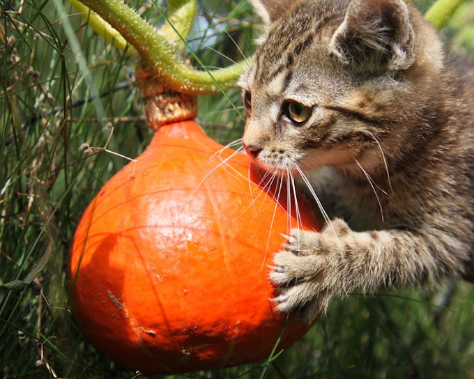 Can Cats Eat Pumpkin? - Pet Central by Chewy