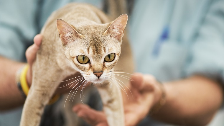 Taken on a CFA contest. Singapura is a cat species which is the smallest among all.