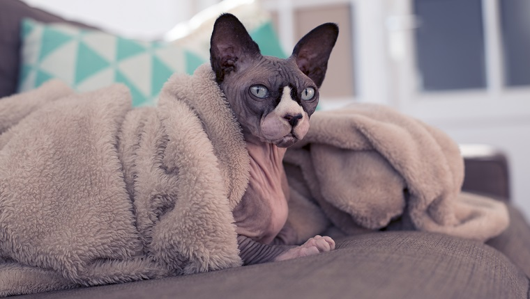 Sphynx cat lazy on the couch under a blanket