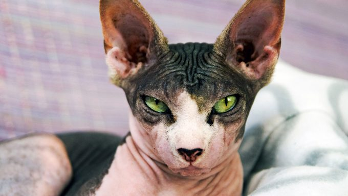 multi-colored hairless cat