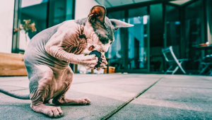 7 Hilarious Hairless Cats Of Instagram