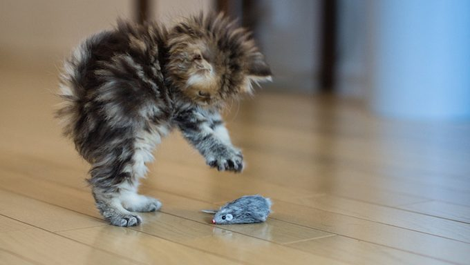 kitten attacks mouse toy