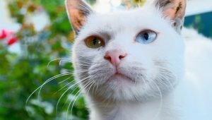 5 Wonderfully Unique Cat Breeds From Around The World