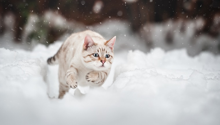 White Mink Bengal running in deep Snow, Action Shot