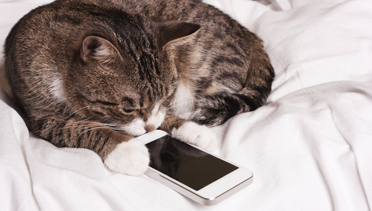 Cat watching an iPhone