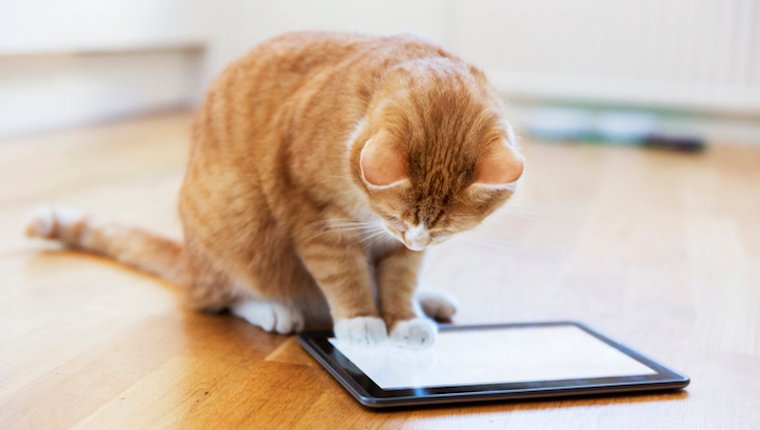 Cat watching an iPad