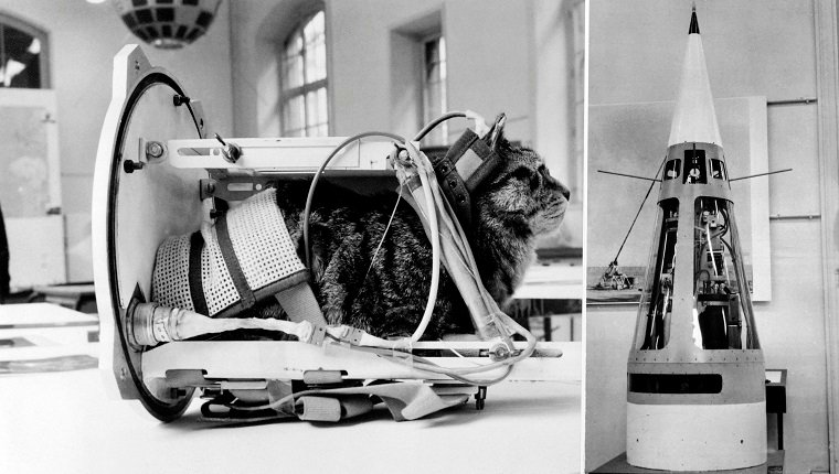 Photo taken on February 5, 1964 shows a cat representing the first cat that went into space Felicette with equipment in the rocket Veronique during an exhibition at The Conservatoire national des arts et métiers (CNAM; National Conservatory of Arts and Crafts) in Paris. - On October 18, 1963, Félicette, a black and white female cat found on the streets of Paris, was sent into space on a Véronique AGI 47 sounding rocket. (Photo by - / AFP)