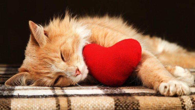 Beautiful golden red cat asleep hugging a small red plush heart toy. The concept of Valentine's Day