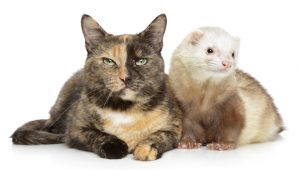 Adopt A Ferret Month: 5 Cute Videos Of Cats Playing With Ferret Friends