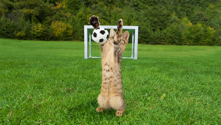Cat playing soccer