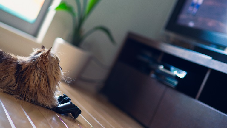 Brown Persian cat on floor in front of game controller looking up at television