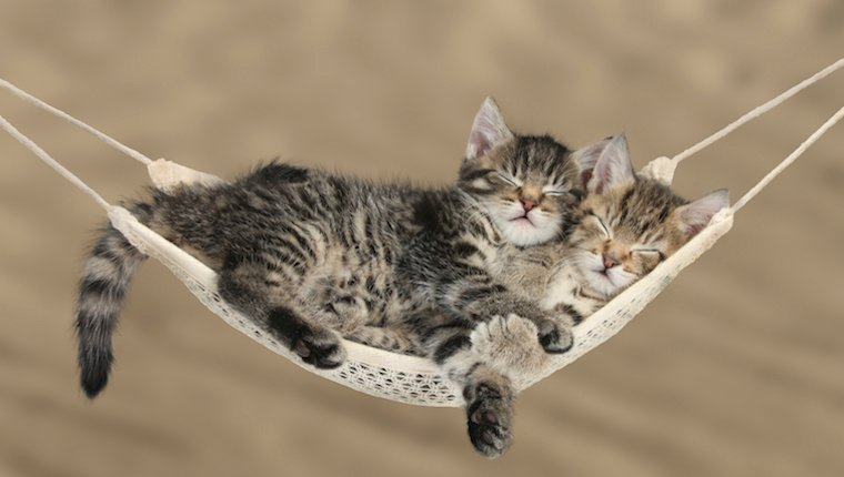 Kittens in hammock