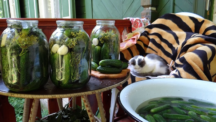 Cat Relaxing On Chair By Jars Of Pickles And Cucumbers