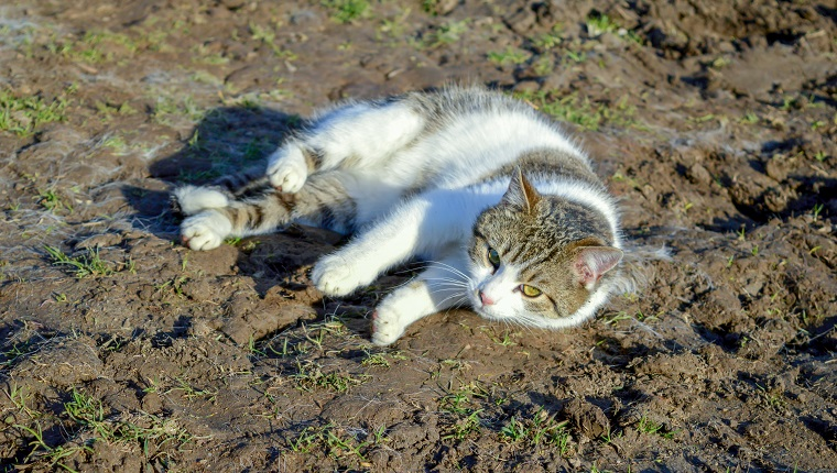 White gray tomcat lies in the mud on the ground looking into the camera, pet, animal