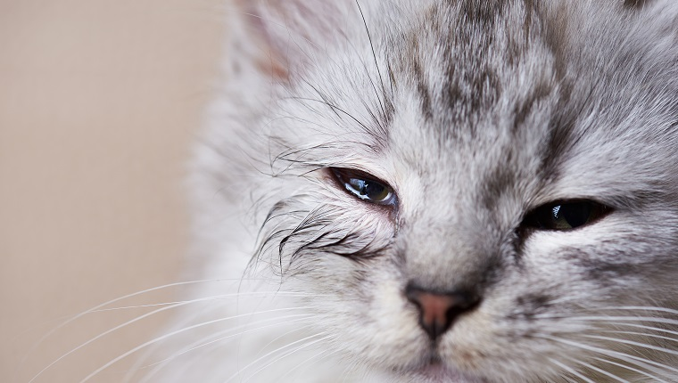 Infected eye of cat. Wet kitty eye close-up. Allergy reaction on home pet