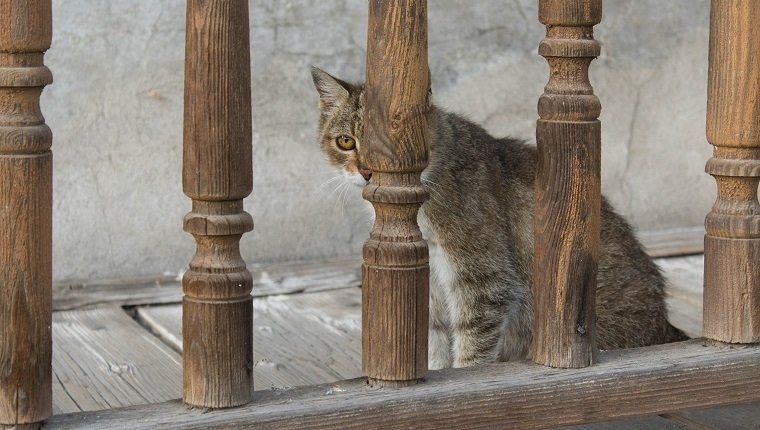 Feral tabby cat hiding behind wooden fence