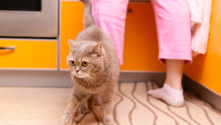 cute scottish straight cat walks at the feet of his owner in the kitchen