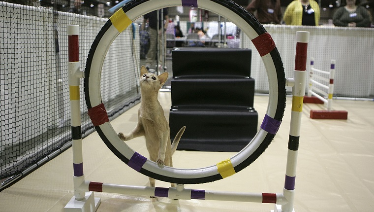 "SAN MATEO, CA - NOVEMBER 18: An Abyssinian cat contmeplates jumping through a hoop while practicing an agility course during the 18th Annual Cat Fanciers' Association International Cat Show November 18, 2005 in San Mateo, California. The three-day CFA International Cat Show is the largest pedigreed cat show, featuring more than 800 felines and representing 41 breeds. The show runs through Sunday when one cat will be awarded the coveted ""best in Show"" title."