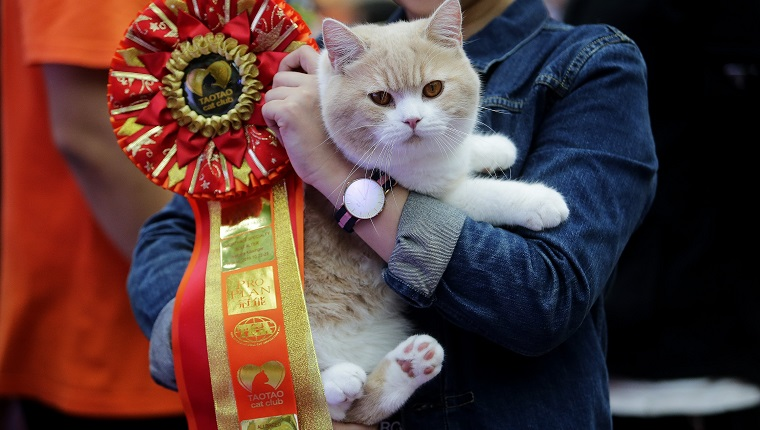 WUHAN, CHINA - OCTOBER 22: A British Shorthair cat is awarded a ribbon during the TICA international cat show at the Aoshan Shiji Plaza on October 22, 2016 in Wuhan, Hubei province, China.