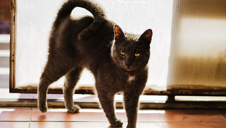 Beautiful and big Russian blue cat standing by the door in a seductive way, enjoying sunshine and keeping its tail up. Strong backlit