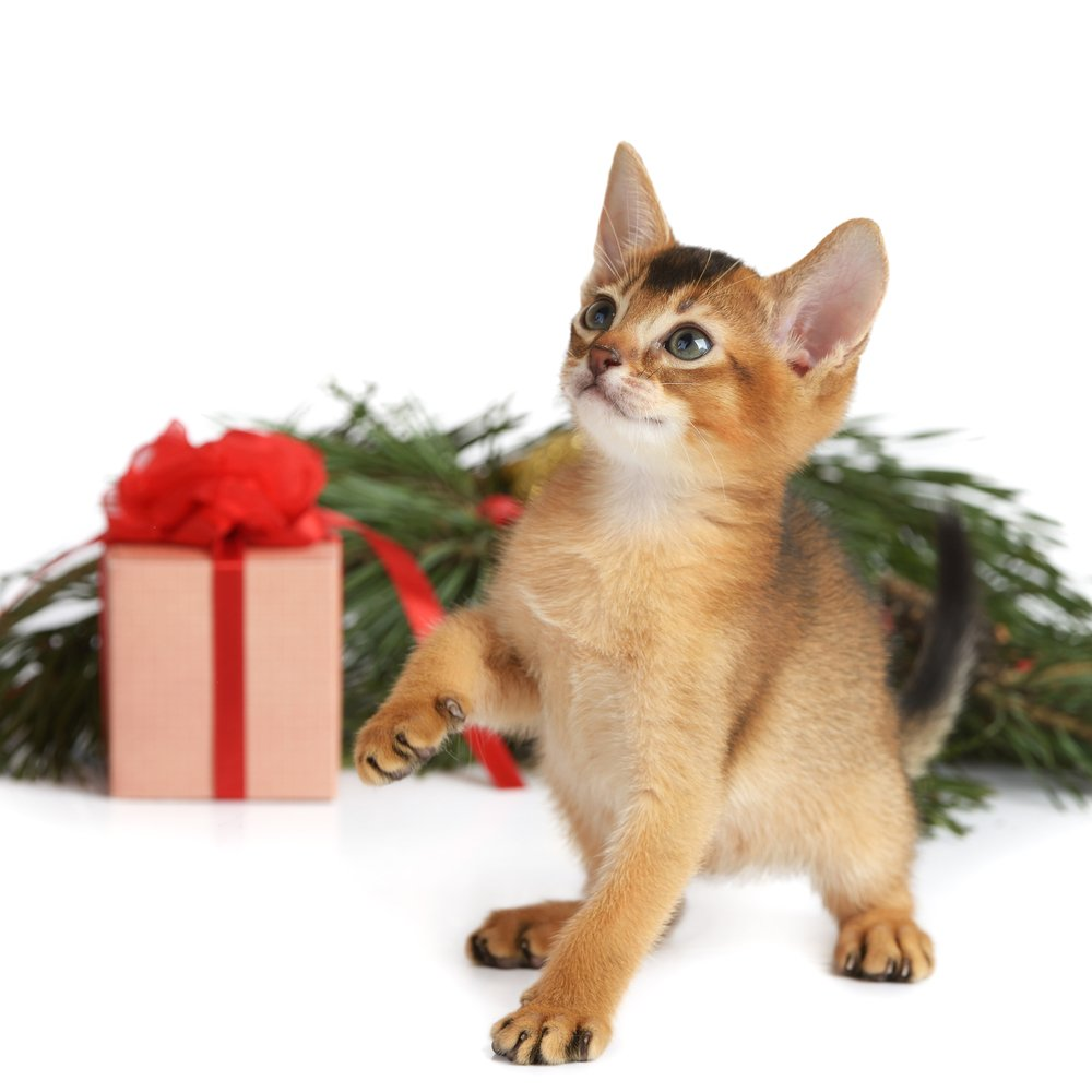 Christmas Kitten Pictures