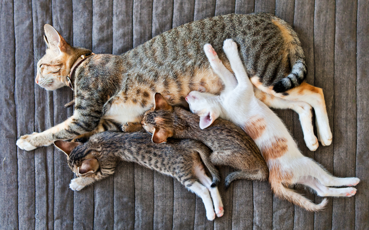 How Long Do Momma Cats Take To Wean Kittens