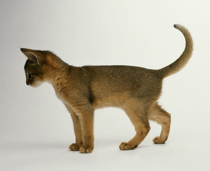 Abyssinian Cats And Kittens