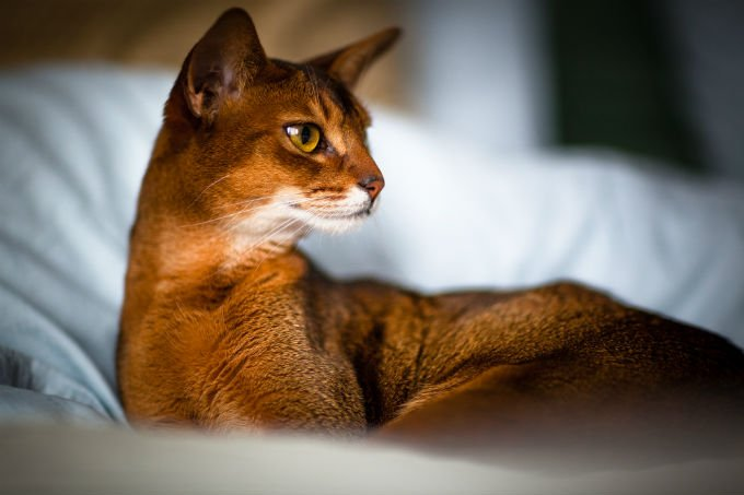 Abyssinian cat images