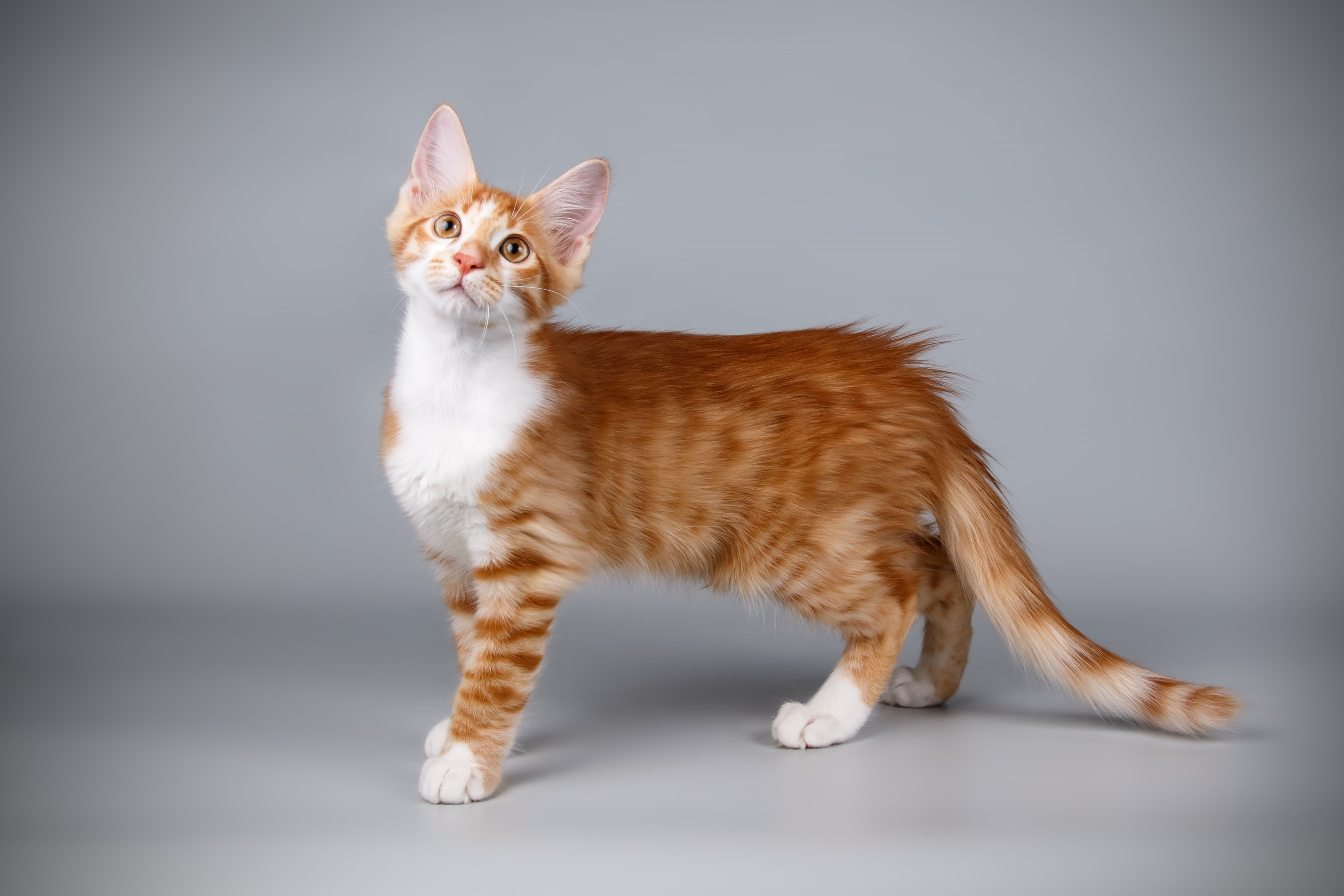 Aphrodite Giant Cat Breed Pictures