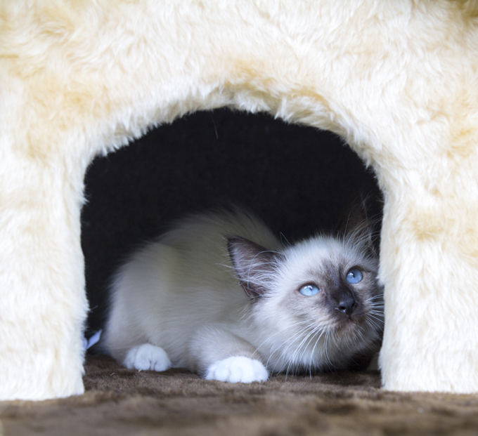 Birman Cats & Kittens