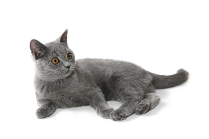 What do british shorthair cats look like