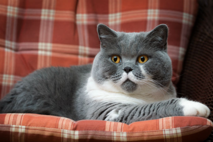 british shorthair cat breed information pictures