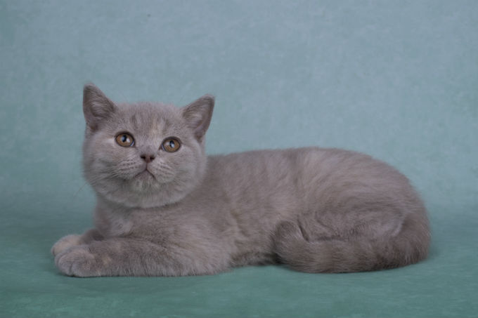 British Shorthair Cats And Kittens