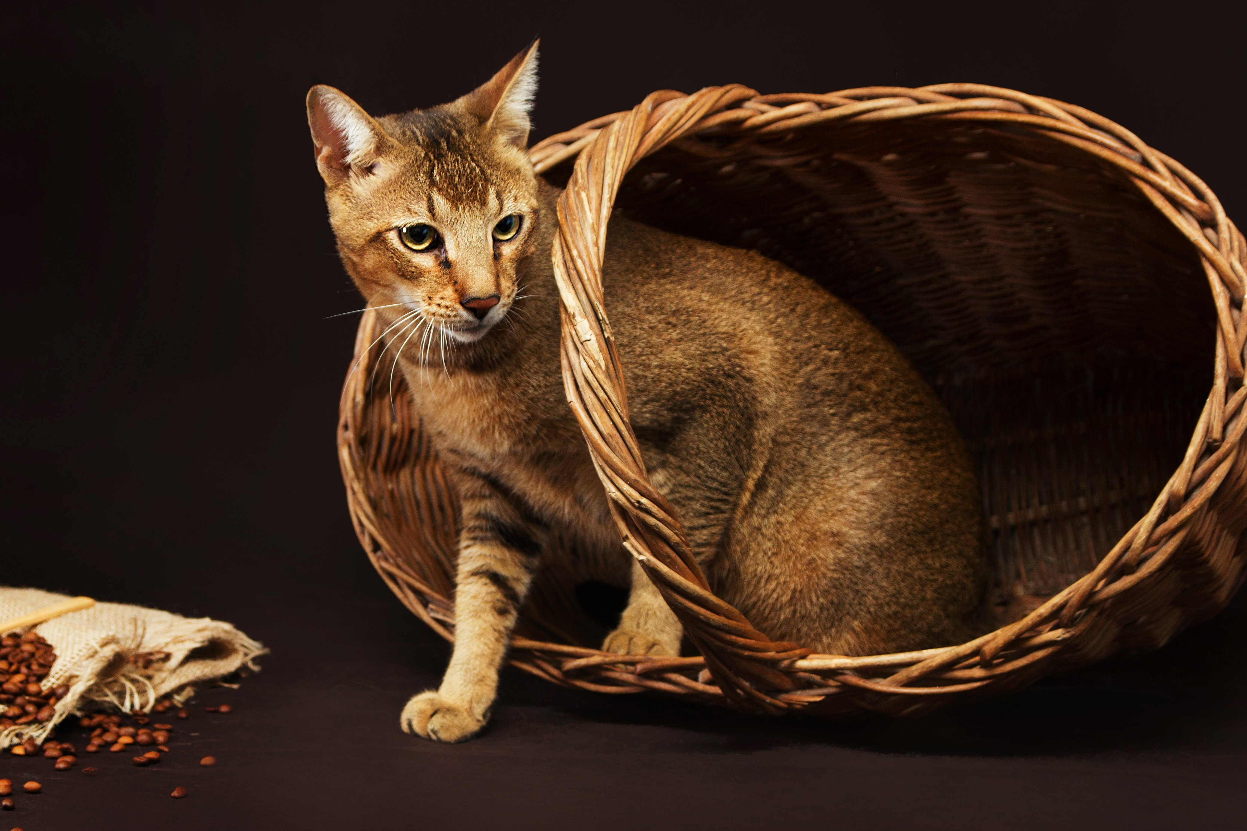 Chausie Mixed Cat Breed Pictures