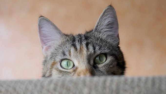 Cats Have Better Hearing Than Humans And Dogs