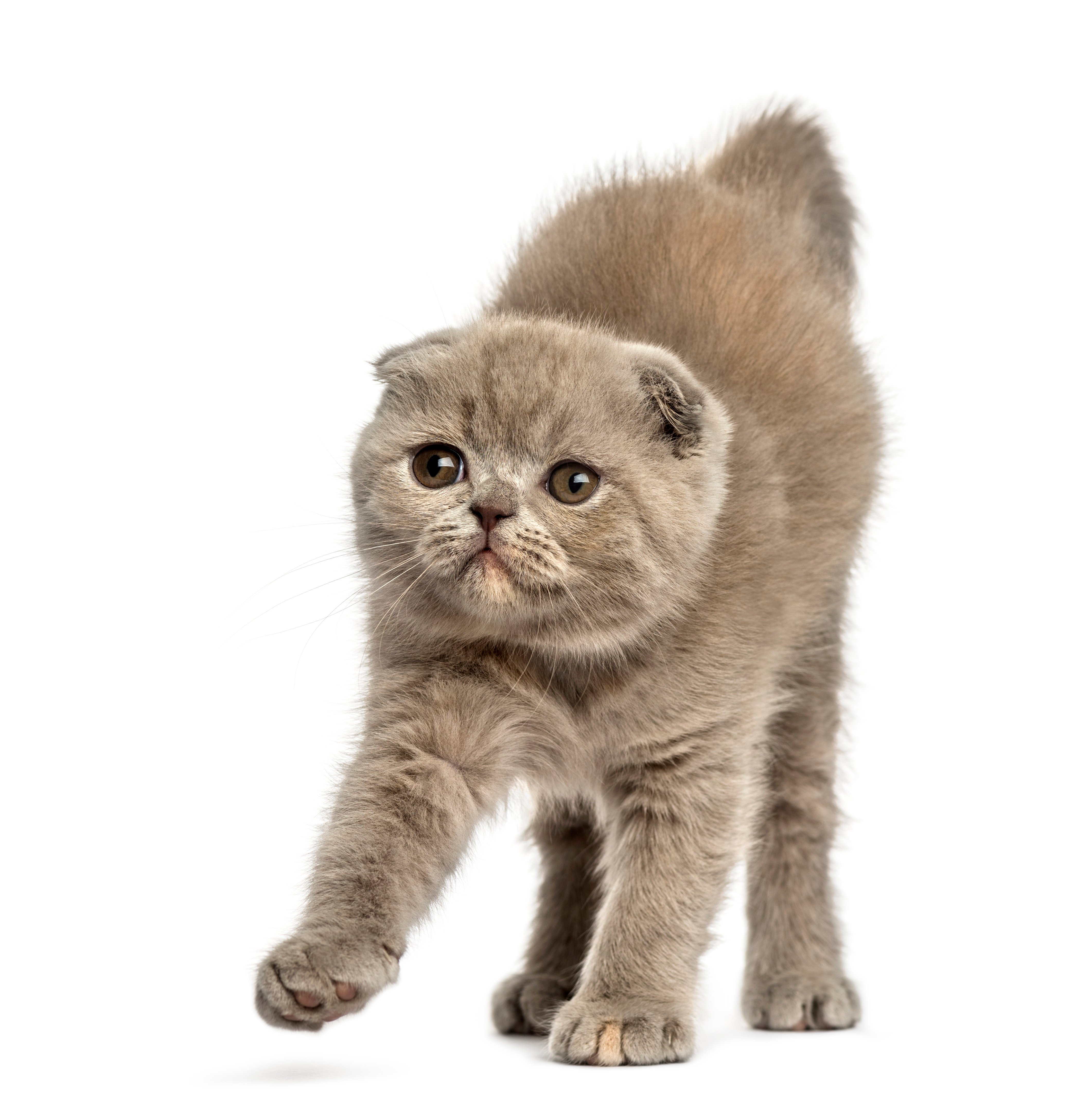Foldex Mixed Cat Breed Pictures