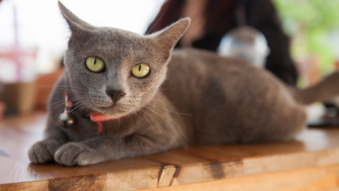 Korat Cats And Kittens