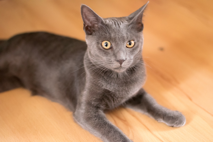 Korat Cat Eyes