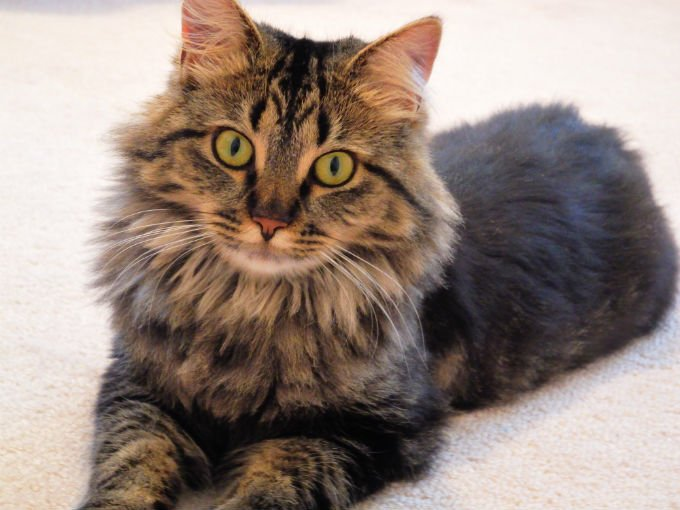Maine Coon Cats And Kittens