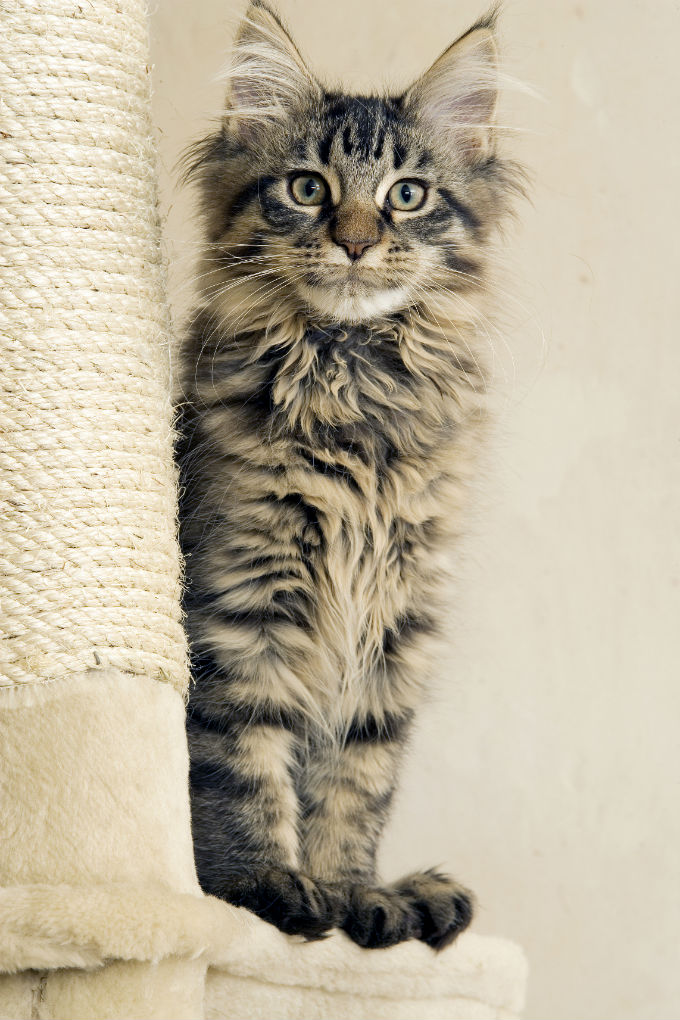 How friendly are maine coon cats
