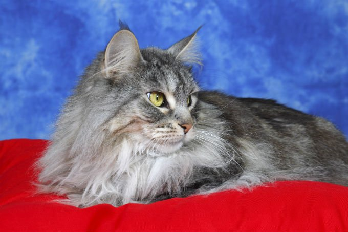 Best Maine Coon Cat Names - CatTime