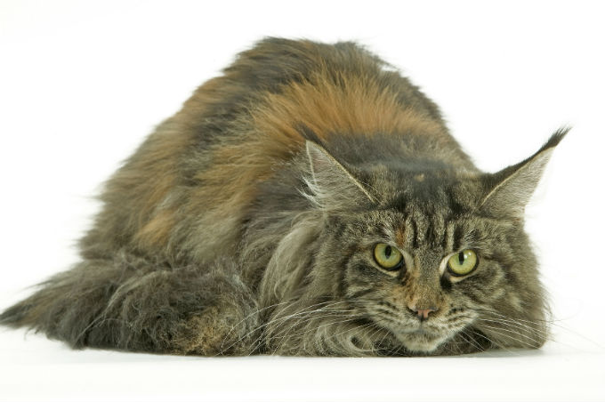 Gray long haired maine coon