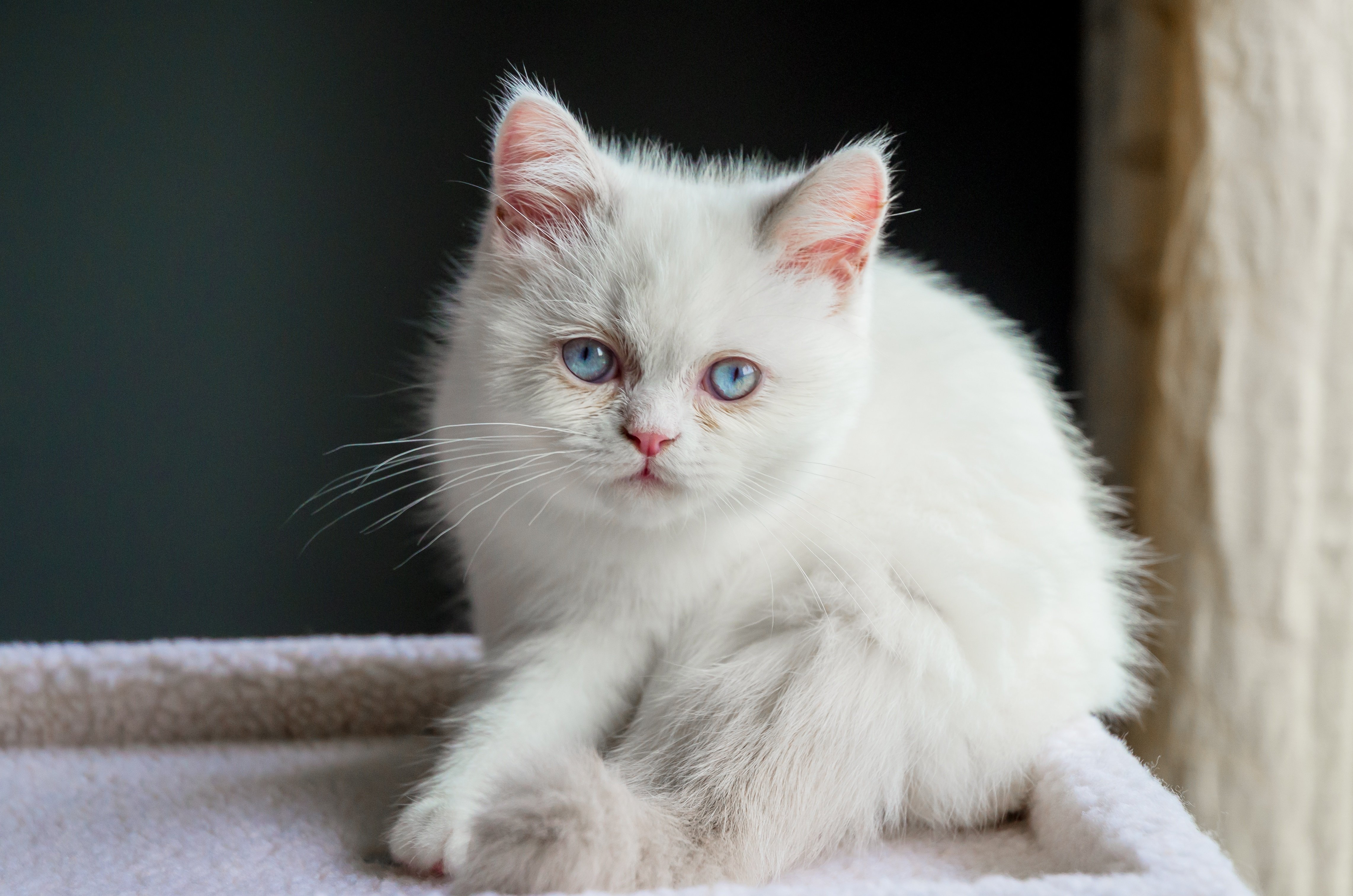 Napoleon Mixed Cat Breed Pictures