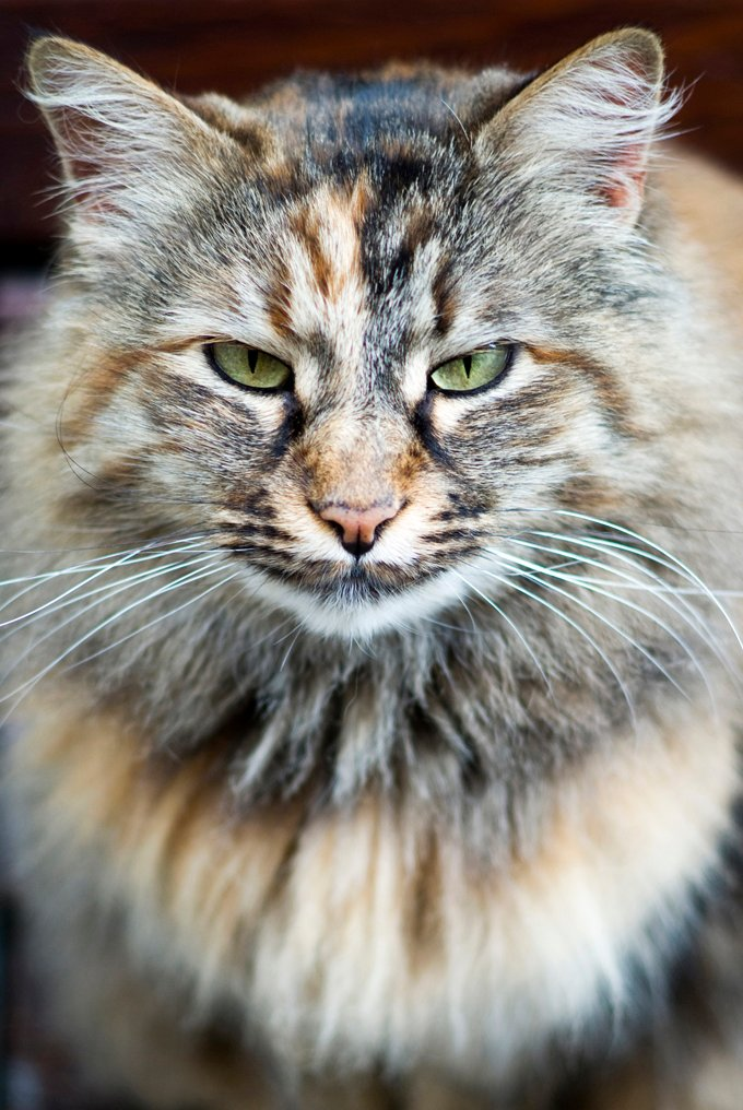norwegian forest cat5