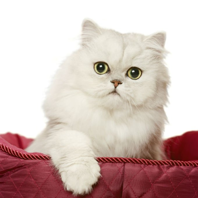 Doll face persian cat size