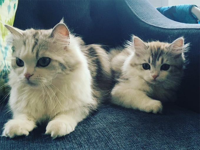 Ragamuffin Cats And Kittens