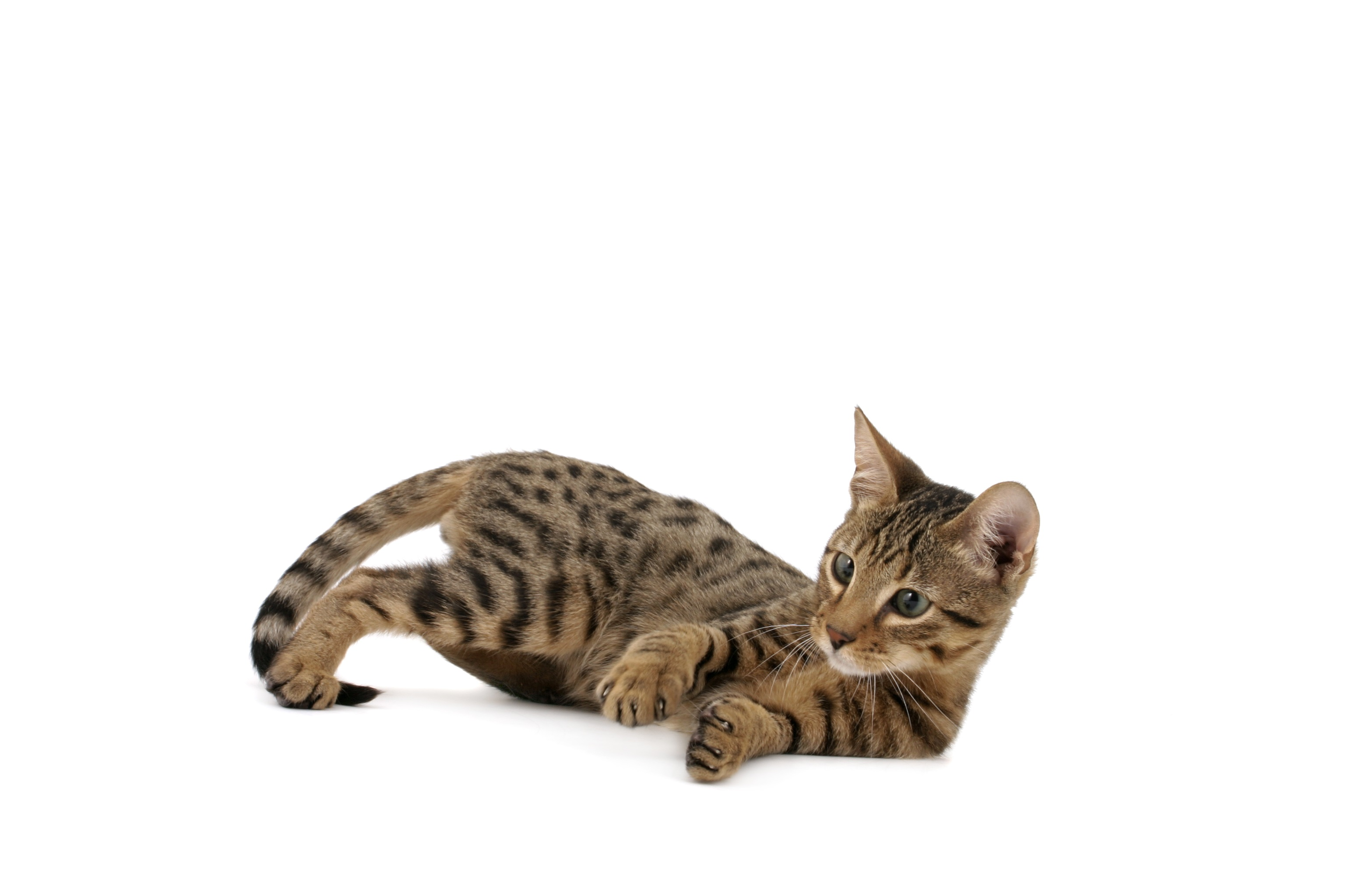 Serengeti Mixed Cat Breed Pictures